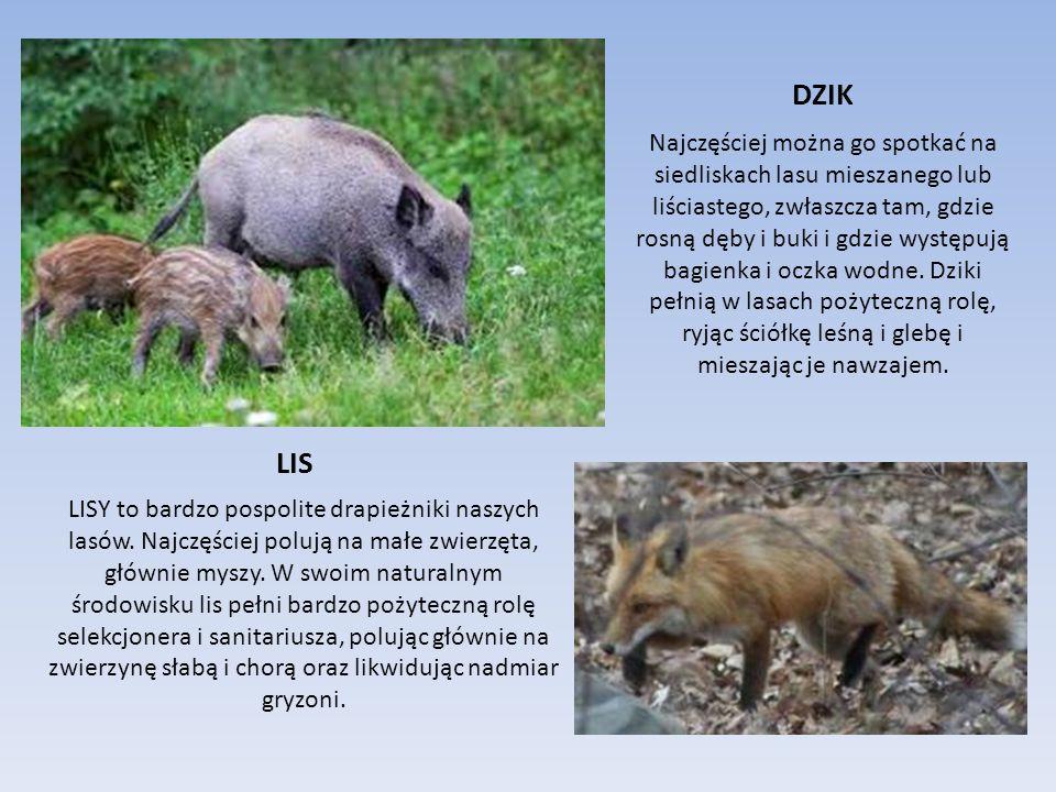 JELEŃ JELEŃ żyje w stadach (CHMARACH), którym przewodniczy doświadczona samica (ŁANIA).