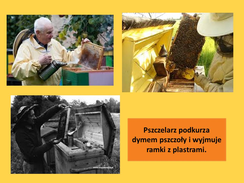 Pszczelarz podkurza dymem pszczoły i wyjmuje ramki z plastrami.