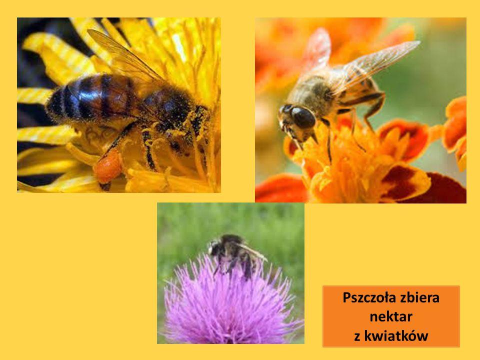Pszczoła zbiera nektar z kwiatków