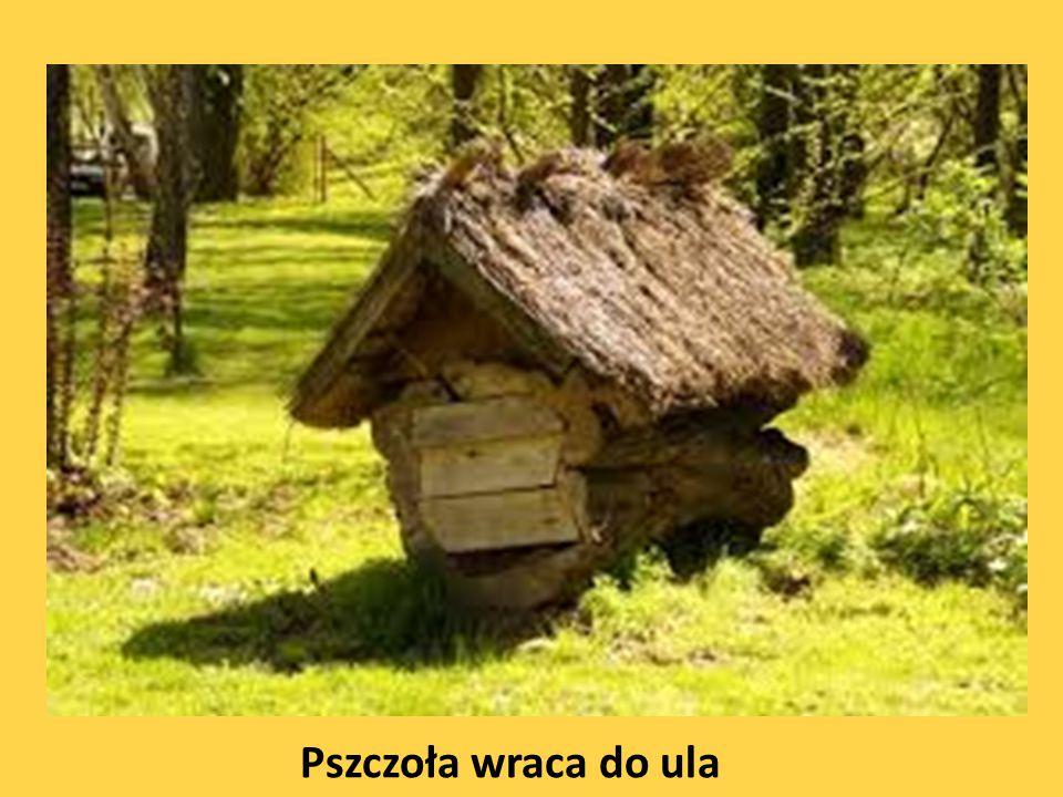 Pszczoła wraca do ula