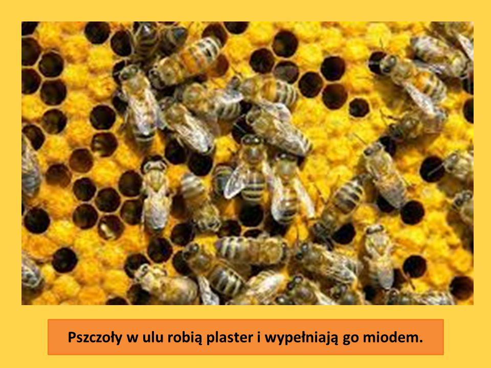 Pszczoły w ulu robią plaster i wypełniają go miodem.