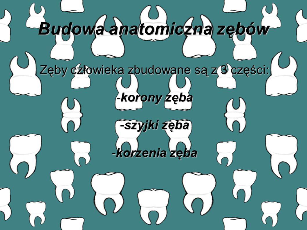 Zęby człowieka zbudowane są z 3 części: -korony zęba -szyjki zęba -korzenia zęba Budowa anatomiczna zębów