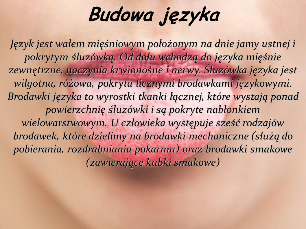 Budowa języka Język jest wałem mięśniowym położonym na dnie jamy ustnej i pokrytym śluzówką. Od dołu wchodzą do języka mięśnie zewnętrzne, naczynia kr