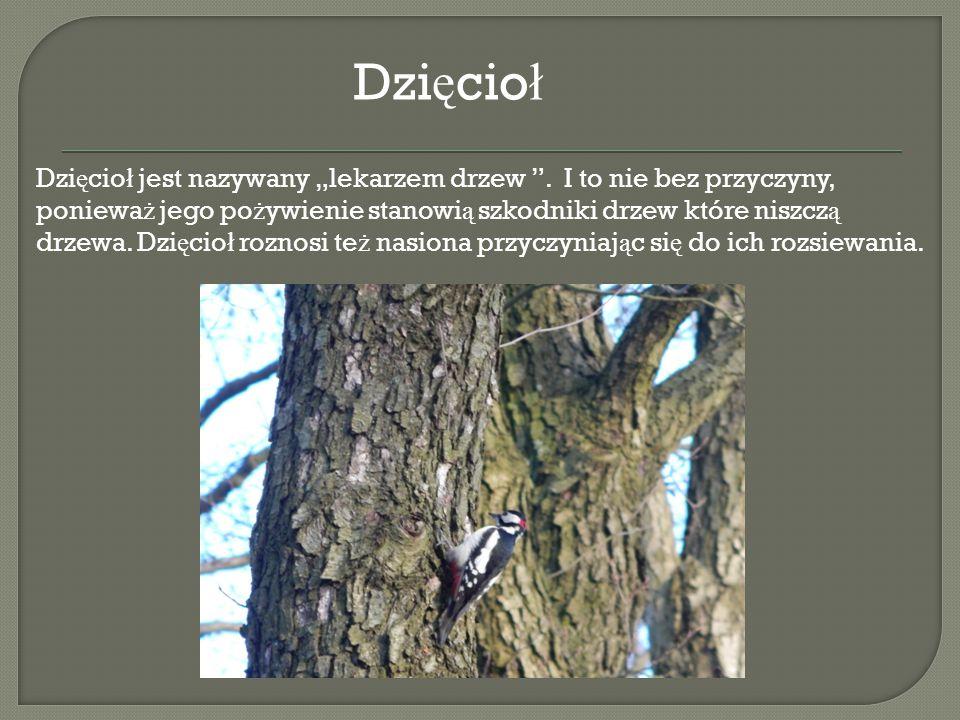 """Dzi ę cio ł jest nazywany """"lekarzem drzew """". I to nie bez przyczyny, poniewa ż jego po ż ywienie stanowi ą szkodniki drzew które niszcz ą drzewa. Dzi"""
