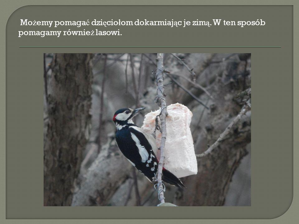 Mo ż emy pomaga ć dzi ę cio ł om dokarmiaj ą c je zim ą. W ten sposób pomagamy równie ż lasowi.