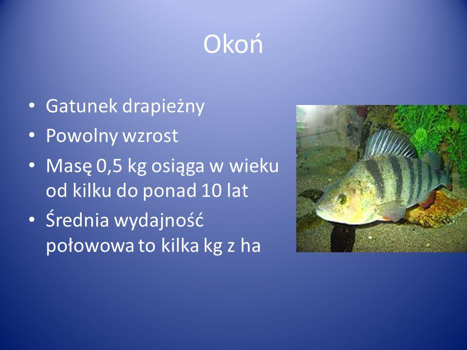 Gatunek drapieżny Powolny wzrost Masę 0,5 kg osiąga w wieku od kilku do ponad 10 lat Średnia wydajność połowowa to kilka kg z ha