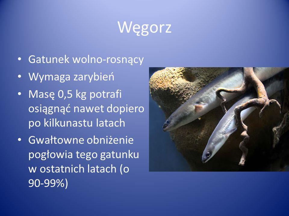 Gatunek wolno-rosnący Wymaga zarybień Masę 0,5 kg potrafi osiągnąć nawet dopiero po kilkunastu latach Gwałtowne obniżenie pogłowia tego gatunku w osta