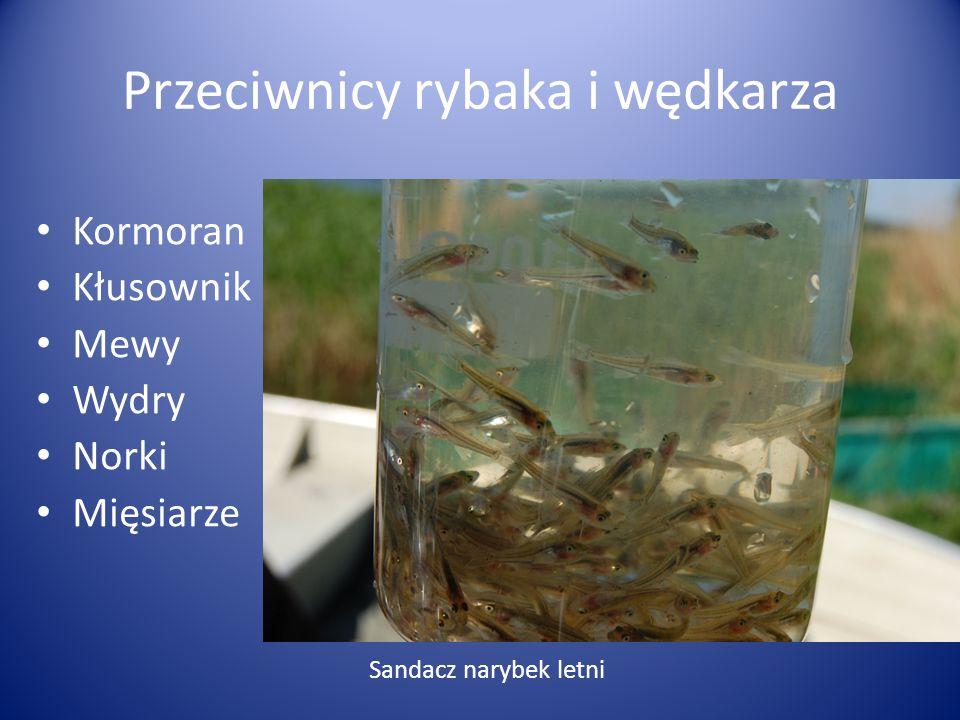 Kormoran Kłusownik Mewy Wydry Norki Mięsiarze Sandacz narybek letni Przeciwnicy rybaka i wędkarza