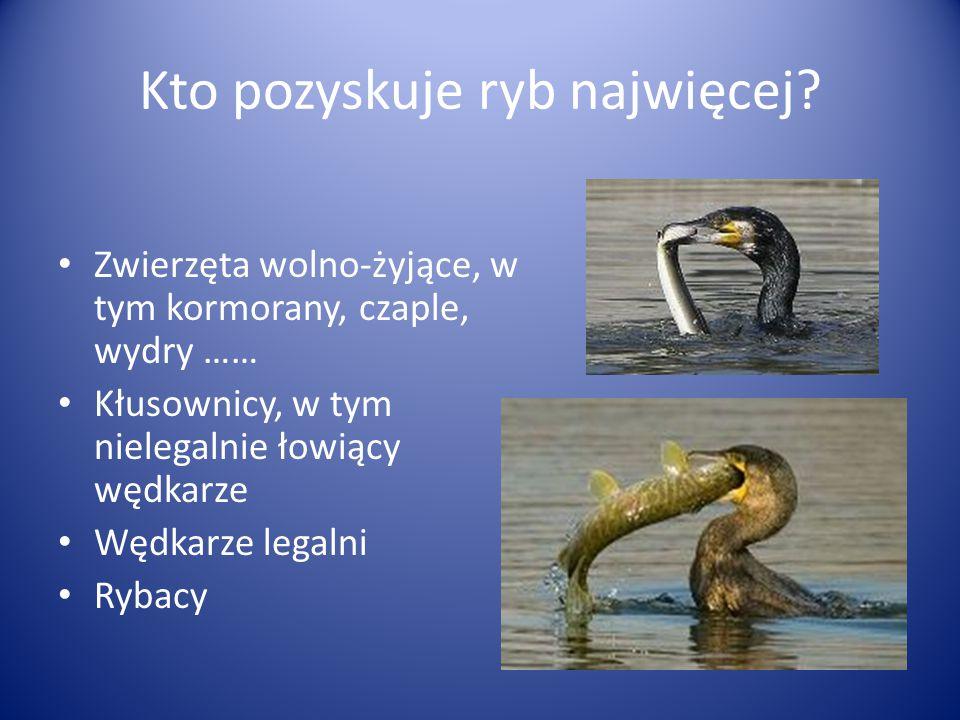 Kto pozyskuje ryb najwięcej? Zwierzęta wolno-żyjące, w tym kormorany, czaple, wydry …… Kłusownicy, w tym nielegalnie łowiący wędkarze Wędkarze legalni