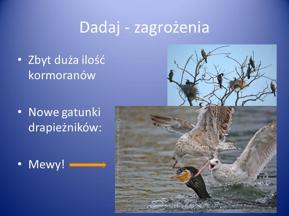 Dadaj - zagrożenia Zbyt duża ilość kormoranów Nowe gatunki drapieżników: Mewy!