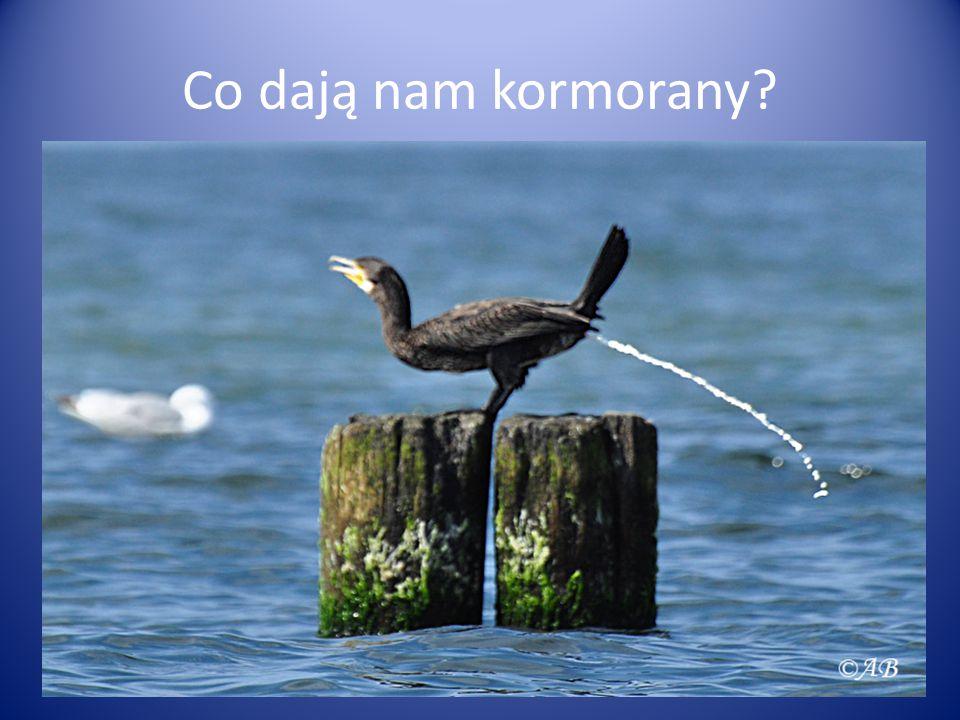 Co dają nam kormorany?