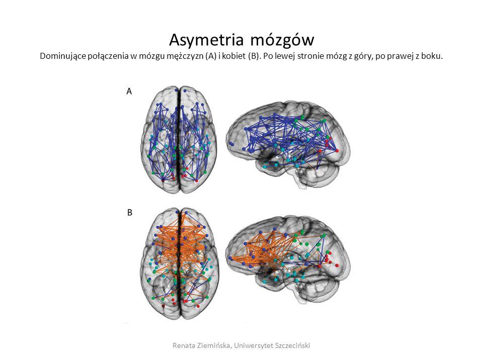 Asymetria mózgów Dominujące połączenia w mózgu mężczyzn (A) i kobiet (B). Po lewej stronie mózg z góry, po prawej z boku. Renata Ziemińska, Uniwersyte