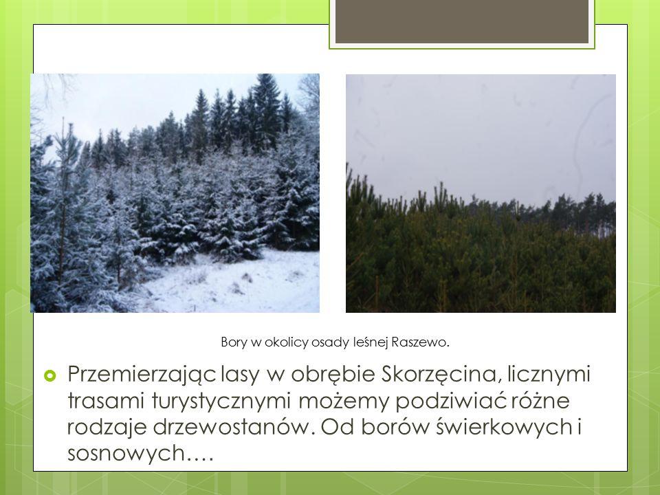  Przemierzając lasy w obrębie Skorzęcina, licznymi trasami turystycznymi możemy podziwiać różne rodzaje drzewostanów. Od borów świerkowych i sosnowyc