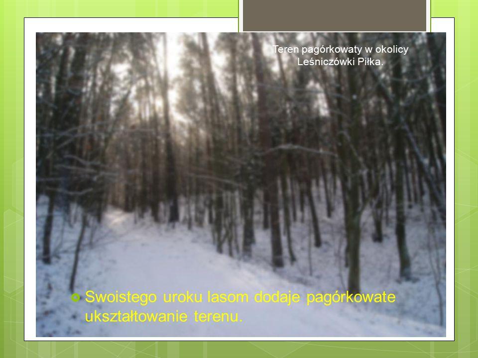 Teren pagórkowaty w okolicy Leśniczówki Piłka.  Swoistego uroku lasom dodaje pagórkowate ukształtowanie terenu.