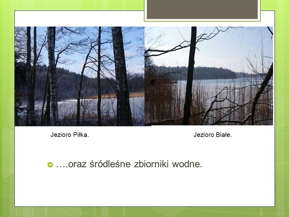  ….oraz śródleśne zbiorniki wodne. Jezioro Piłka. Jezioro Białe.