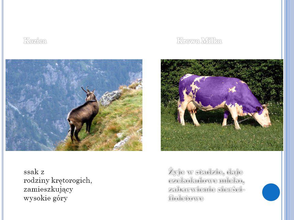 ssak z rodziny krętorogich, zamieszkujący wysokie góry