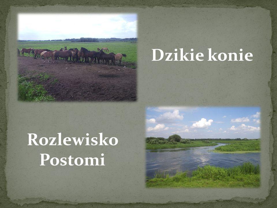 """Park Narodowy """"Ujście Warty"""" to najmłodszy z 23 parków narodowych na terenie Polski, utworzony 1 lipca 2001 r. z połączenia rezerwatu Słońsk i części"""