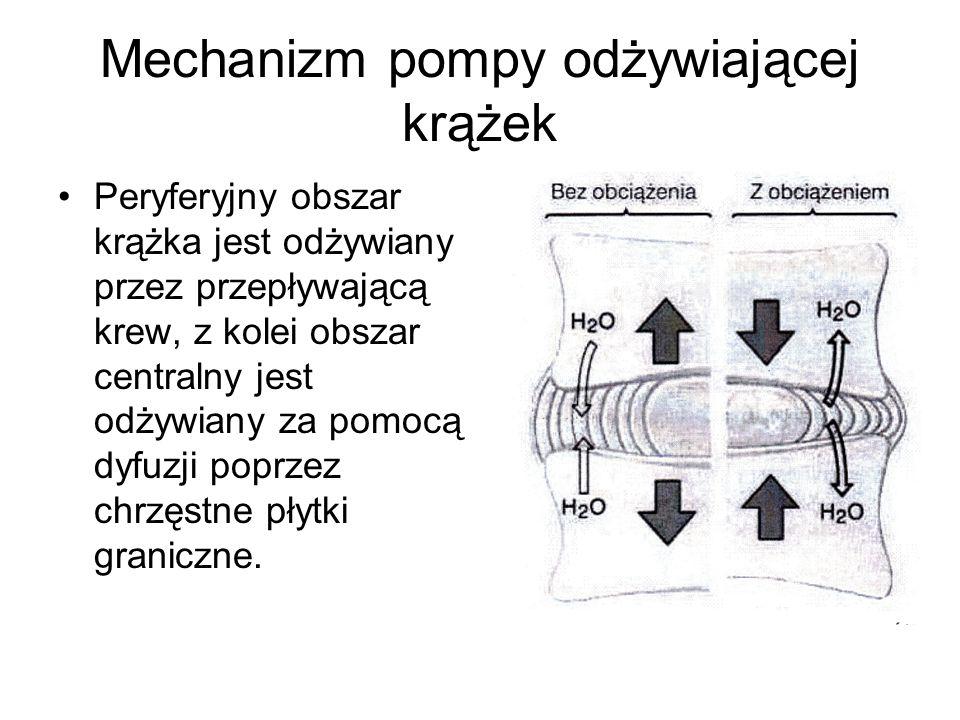 Mechanizm pompy odżywiającej krążek Peryferyjny obszar krążka jest odżywiany przez przepływającą krew, z kolei obszar centralny jest odżywiany za pomocą dyfuzji poprzez chrzęstne płytki graniczne.