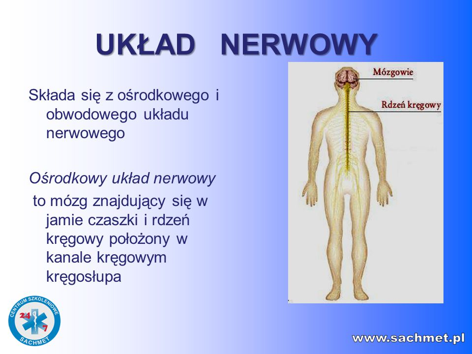 UKŁAD NERWOWY Składa się z ośrodkowego i obwodowego układu nerwowego Ośrodkowy układ nerwowy to mózg znajdujący się w jamie czaszki i rdzeń kręgowy po