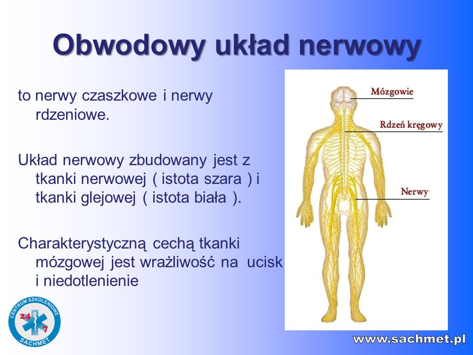 Obwodowy układ nerwowy to nerwy czaszkowe i nerwy rdzeniowe. Układ nerwowy zbudowany jest z tkanki nerwowej ( istota szara ) i tkanki glejowej ( istot