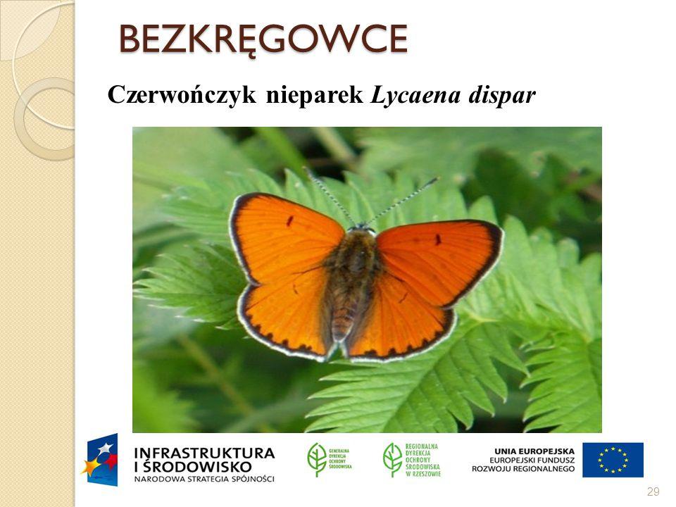 BEZKRĘGOWCE 29 Czerwończyk nieparek Lycaena dispar
