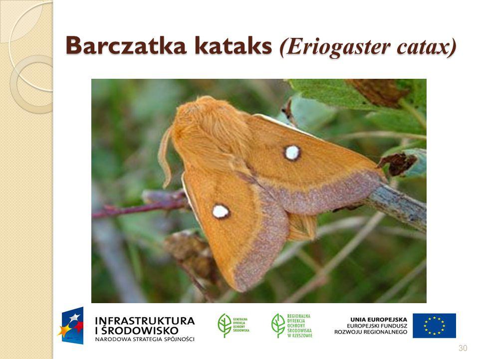 Barczatka kataks (Eriogaster catax) 30