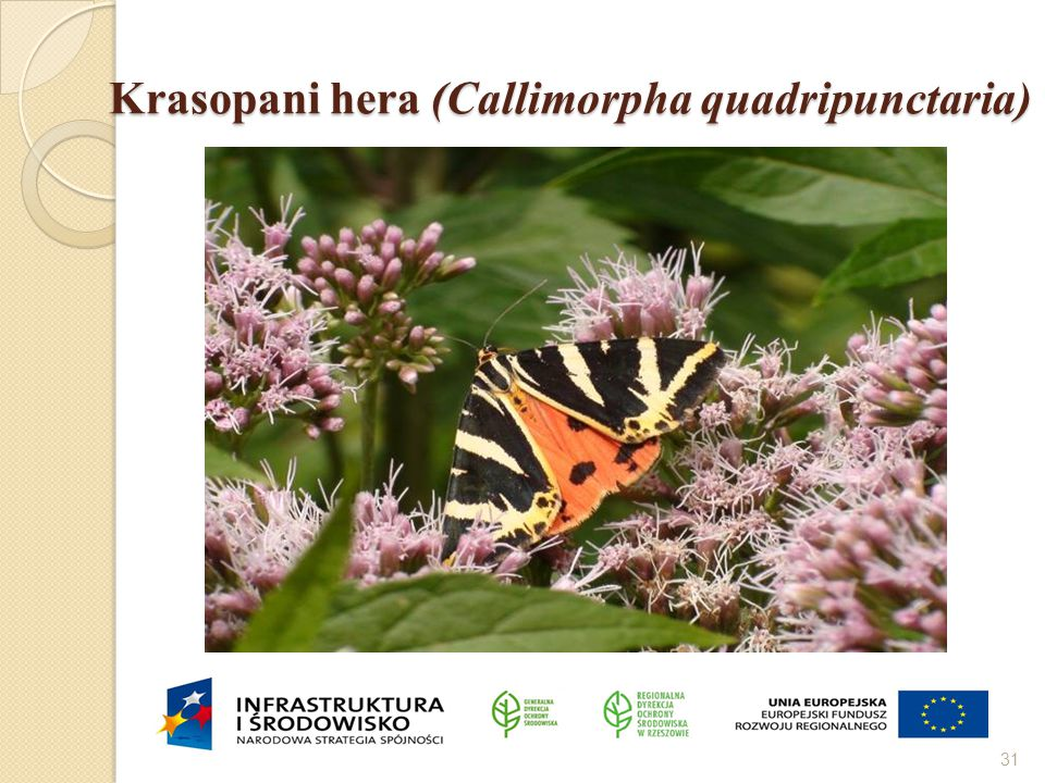 Krasopani hera (Callimorpha quadripunctaria) 31