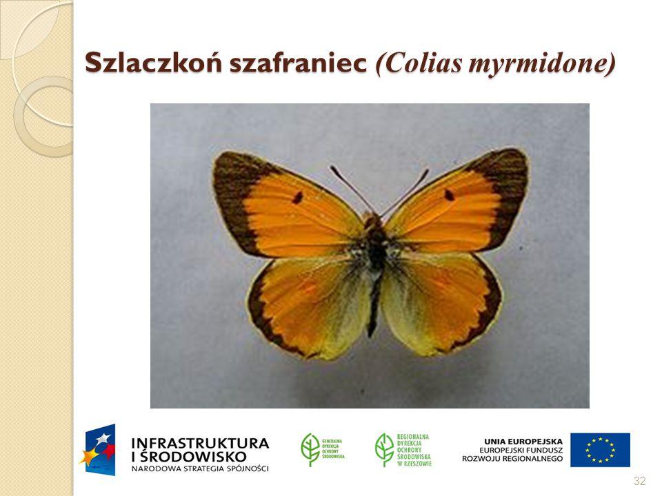Szlaczkoń szafraniec (Colias myrmidone) 32