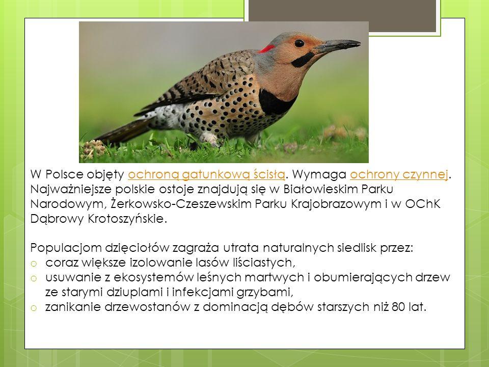 W Polsce objęty ochroną gatunkową ścisłą. Wymaga ochrony czynnej. Najważniejsze polskie ostoje znajdują się w Białowieskim Parku Narodowym, Żerkowsko-