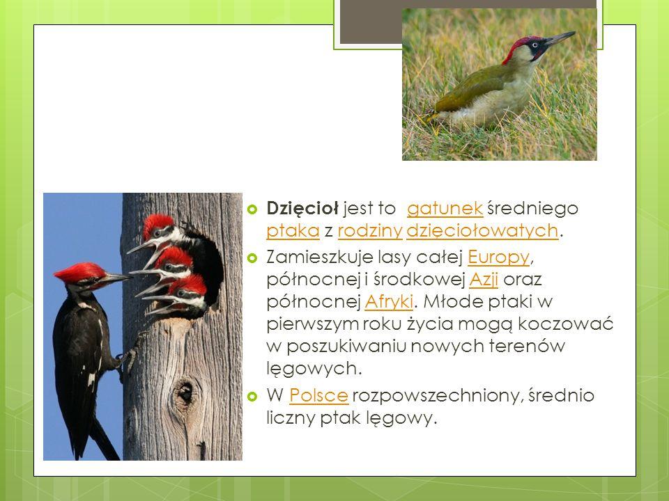  Dzięcioł jest to gatunek średniego ptaka z rodziny dzięciołowatych.gatunek ptakarodzinydzięciołowatych  Zamieszkuje lasy całej Europy, północnej i