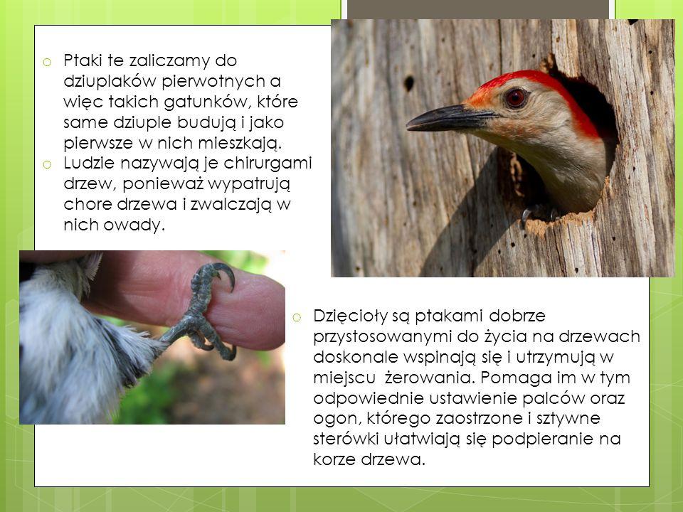 o Dzięcioły są ptakami dobrze przystosowanymi do życia na drzewach doskonale wspinają się i utrzymują w miejscu żerowania. Pomaga im w tym odpowiednie