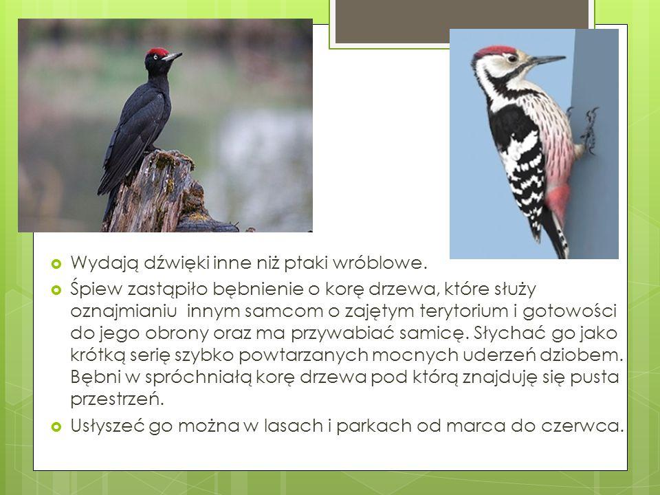  Wydają dźwięki inne niż ptaki wróblowe.  Śpiew zastąpiło bębnienie o korę drzewa, które służy oznajmianiu innym samcom o zajętym terytorium i gotow