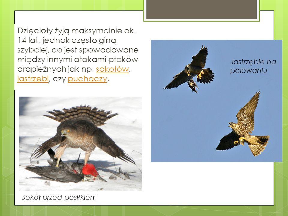 Dzięcioły żyją maksymalnie ok. 14 lat, jednak często giną szybciej, co jest spowodowane między innymi atakami ptaków drapieżnych jak np. sokołów, jast