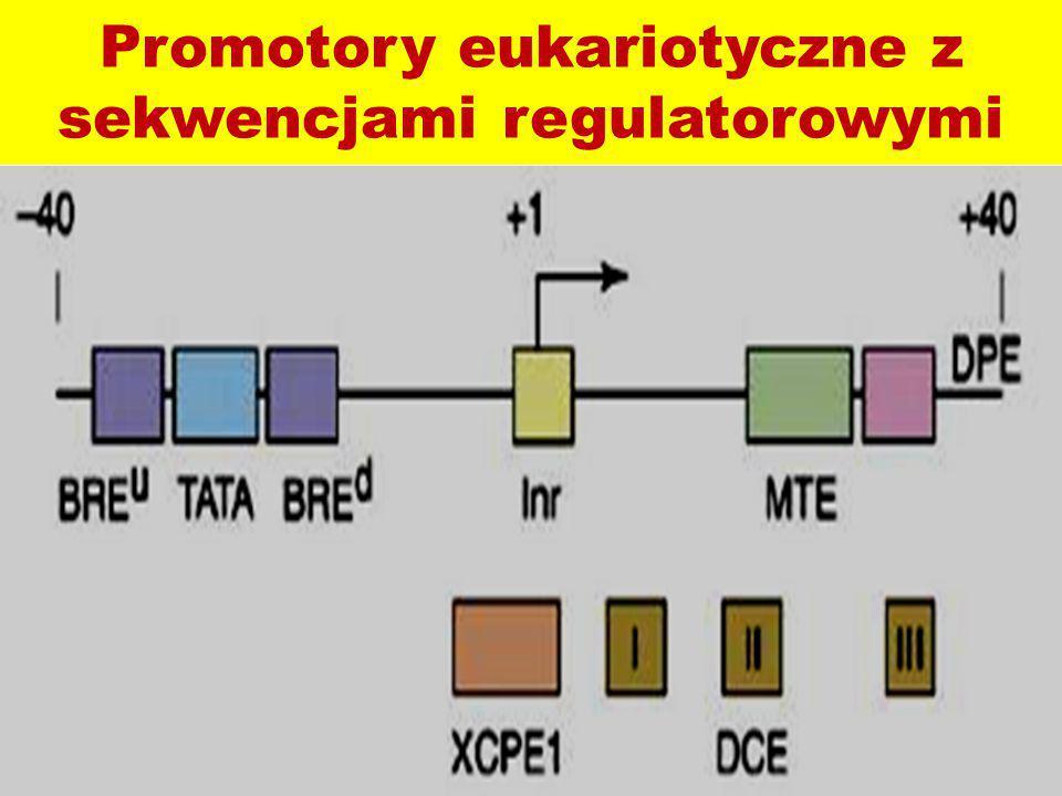 Promotory eukariotyczne z sekwencjami regulatorowymi
