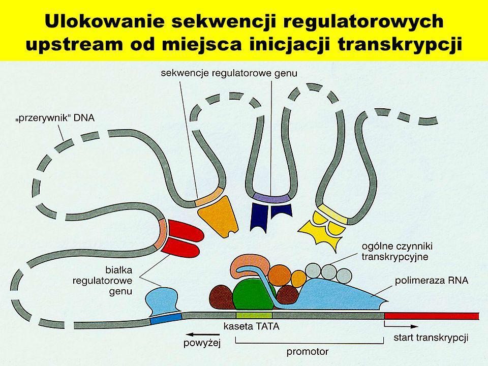 Ulokowanie sekwencji regulatorowych upstream od miejsca inicjacji transkrypcji