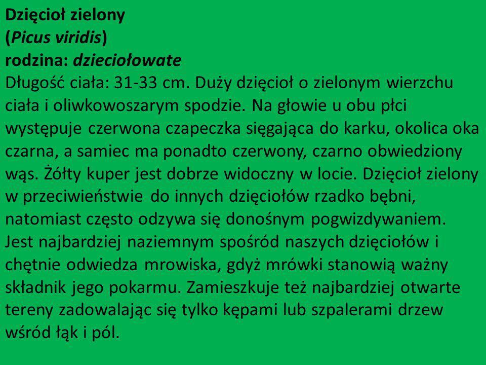 Dzięcioł zielony (Picus viridis) rodzina: dzieciołowate Długość ciała: 31-33 cm. Duży dzięcioł o zielonym wierzchu ciała i oliwkowoszarym spodzie. Na