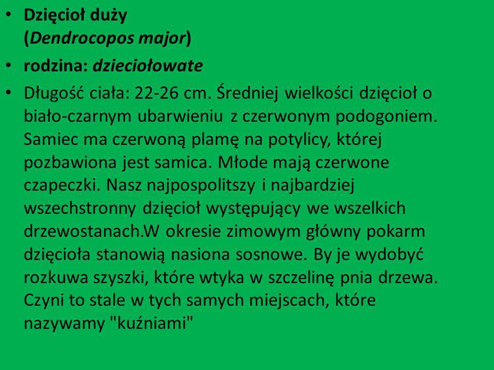 Dzięcioł duży (Dendrocopos major) rodzina: dzieciołowate Długość ciała: 22-26 cm. Średniej wielkości dzięcioł o biało-czarnym ubarwieniu z czerwonym p