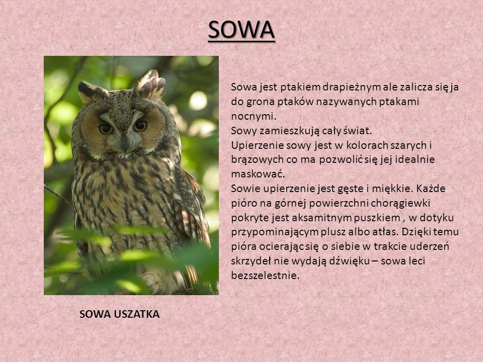 SOWA Sowa jest ptakiem drapieżnym ale zalicza się ja do grona ptaków nazywanych ptakami nocnymi. Sowy zamieszkują cały świat. Upierzenie sowy jest w k