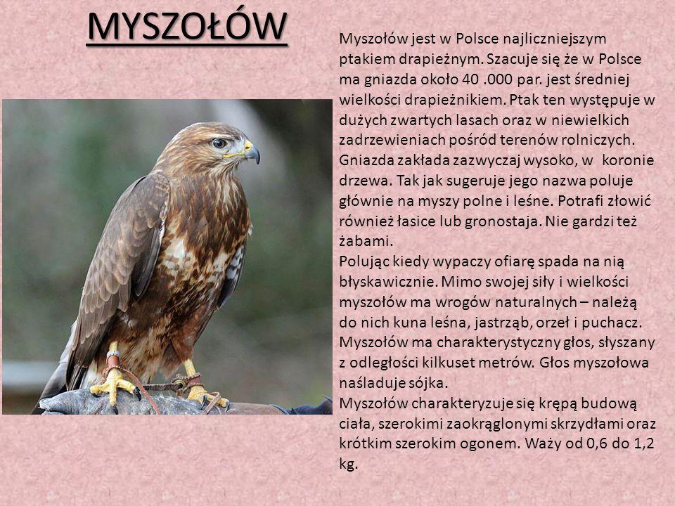 MYSZOŁÓW Myszołów jest w Polsce najliczniejszym ptakiem drapieżnym. Szacuje się że w Polsce ma gniazda około 40.000 par. jest średniej wielkości drapi
