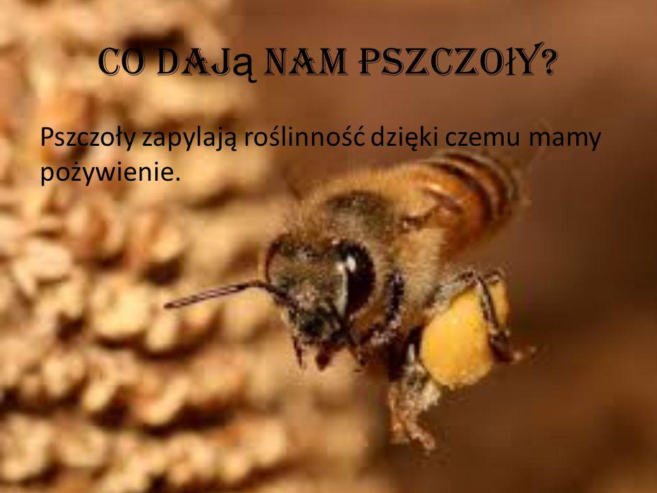 Co daj ą nam pszczo ł y? Pszczoły zapylają roślinność dzięki czemu mamy pożywienie.