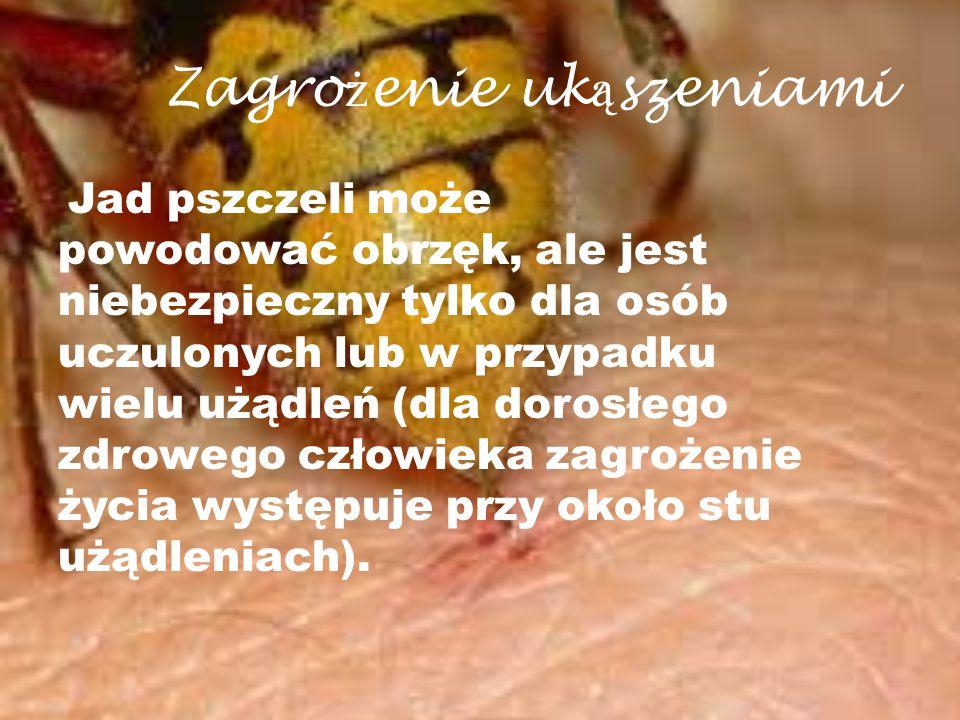 Zagro ż enie uk ą szeniami Jad pszczeli może powodować obrzęk, ale jest niebezpieczny tylko dla osób uczulonych lub w przypadku wielu użądleń (dla dor