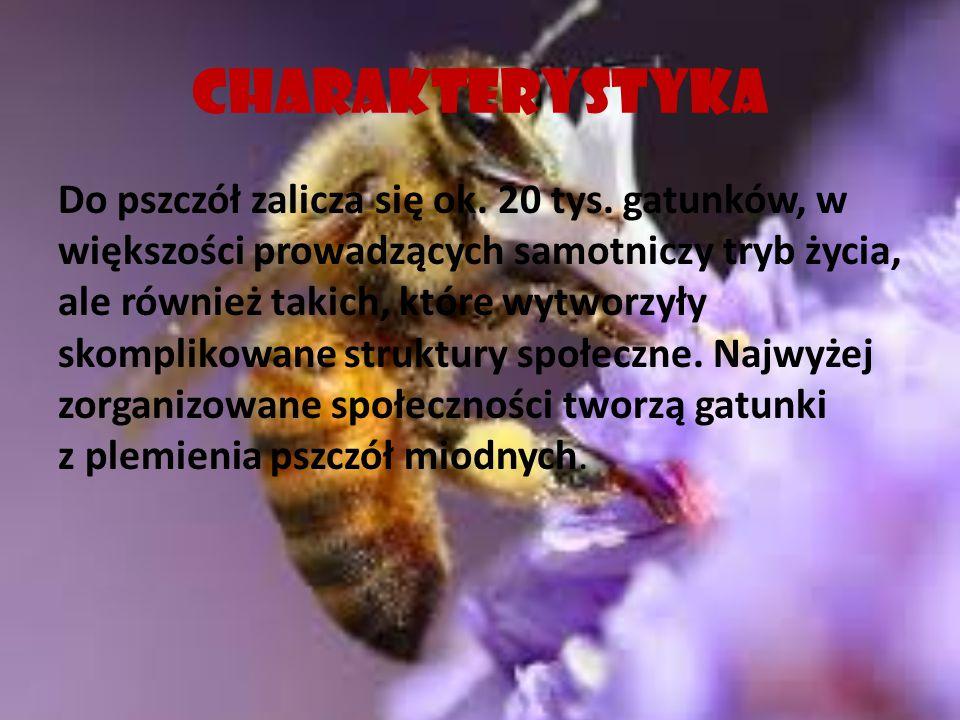 CHARAKTERYSTYKA Do pszczół zalicza się ok. 20 tys. gatunków, w większości prowadzących samotniczy tryb życia, ale również takich, które wytworzyły sko