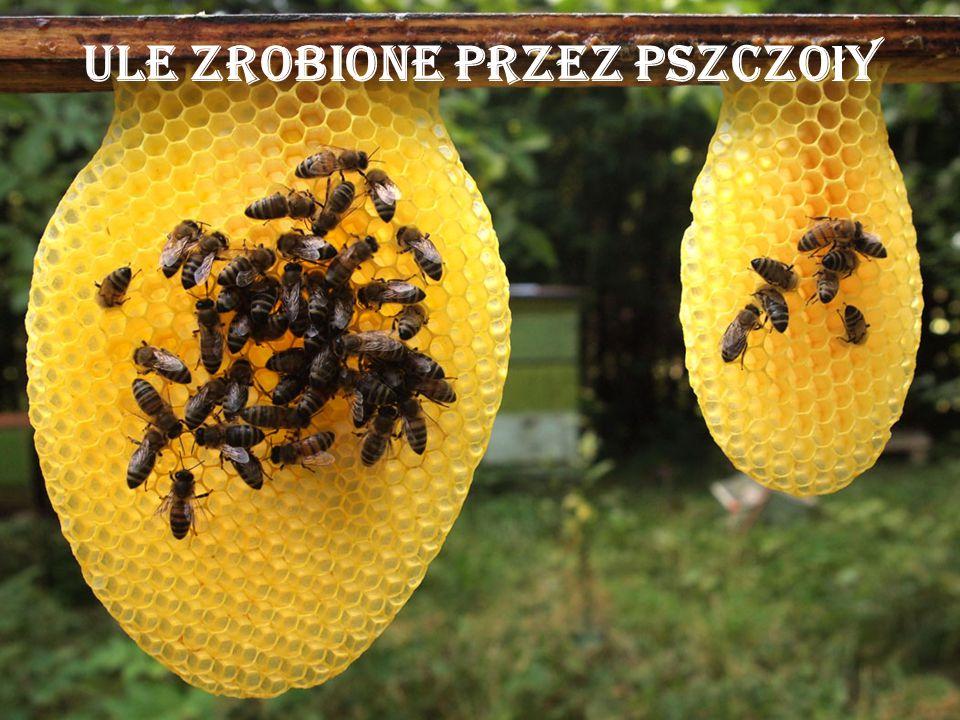 Ule zrobione przez pszczo ł y