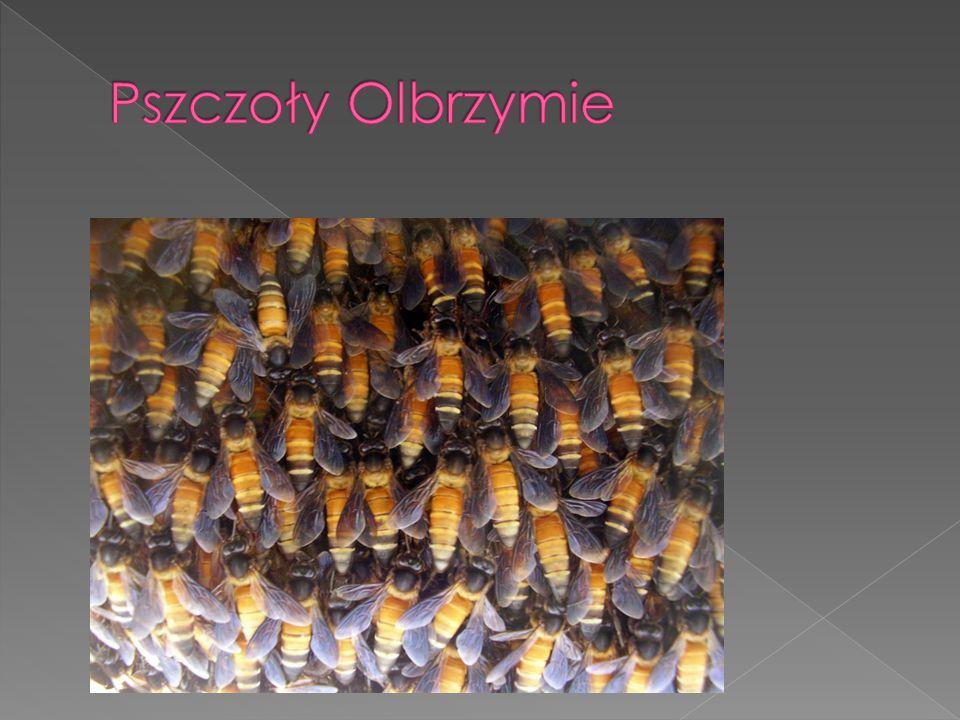 Pszczoły, podobnie jak wszystkie żywe organizmy są narażone na działanie czynników chorobotwórczych i pasożytów.