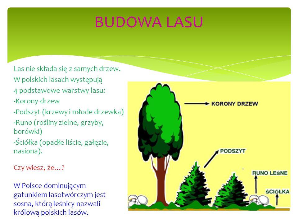 Las nie składa się z samych drzew. W polskich lasach występują 4 podstawowe warstwy lasu: -Korony drzew -Podszyt (krzewy i młode drzewka) -Runo (rośli