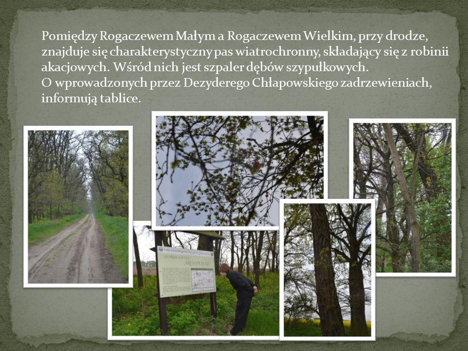 Pomiędzy Rogaczewem Małym a Rogaczewem Wielkim, przy drodze, znajduje się charakterystyczny pas wiatrochronny, składający się z robinii akacjowych. Wś