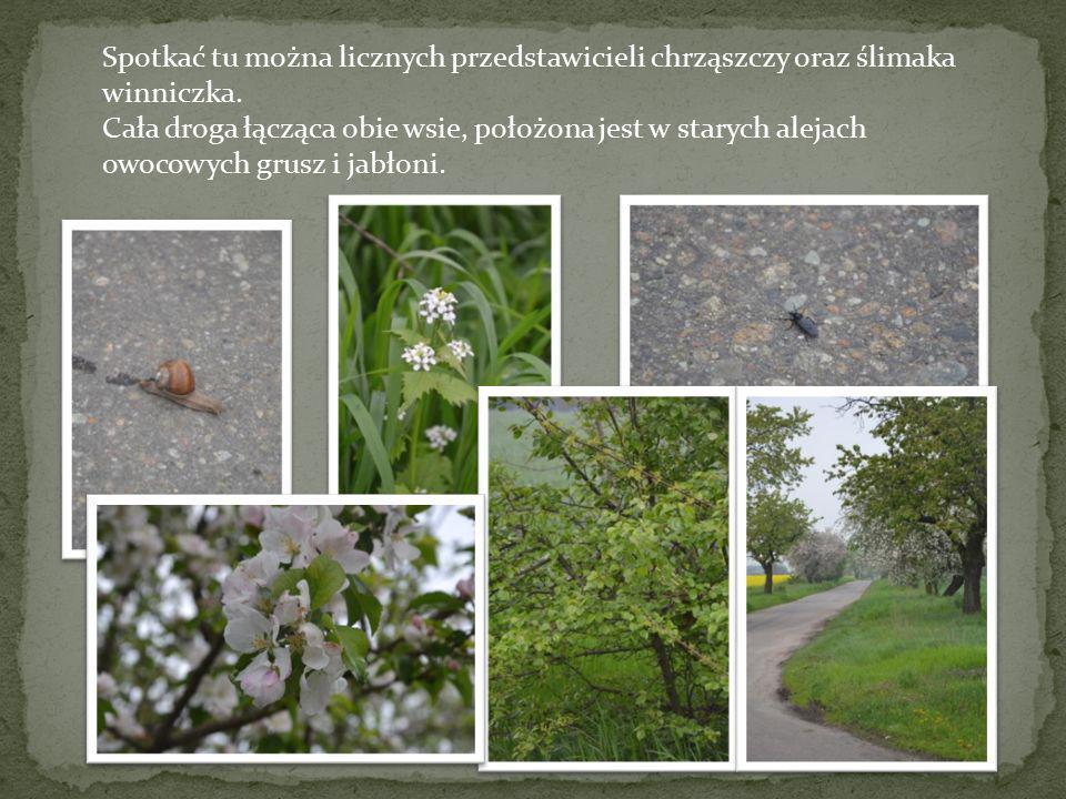 Spotkać tu można licznych przedstawicieli chrząszczy oraz ślimaka winniczka. Cała droga łącząca obie wsie, położona jest w starych alejach owocowych g