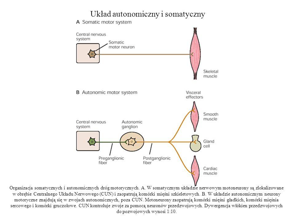 Układ autonomiczny i somatyczny Organizacja somatycznych i autonomicznych dróg motorycznych.