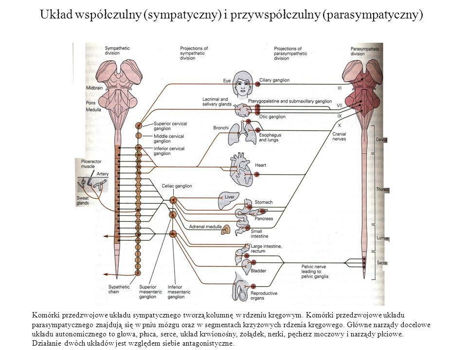 Układ współczulny (sympatyczny) i przywspółczulny (parasympatyczny) Komórki przedzwojowe układu sympatycznego tworzą kolumnę w rdzeniu kręgowym.
