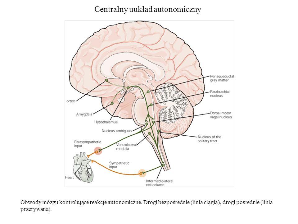 Centralny uukład autonomiczny Obwody mózgu kontrolujące reakcje autonomiczne.